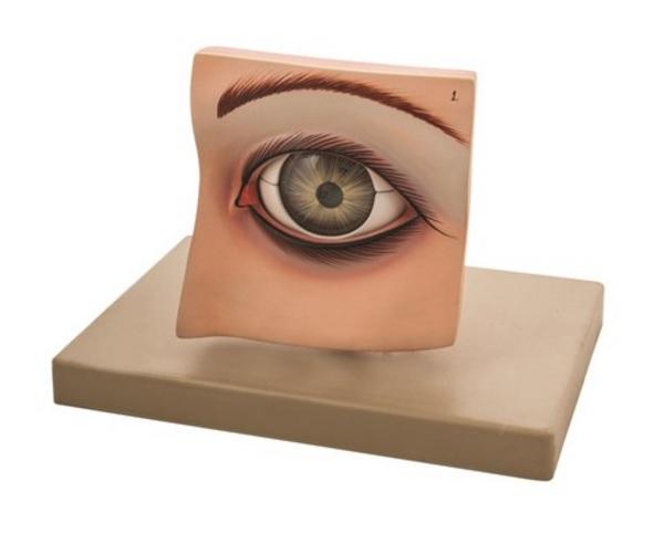 Modelo ojo humano con párpado remobible EISCO AM0028 - Grupo